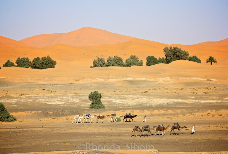 Camels in the desert outside of Merzouga Morocco in Northern Africa